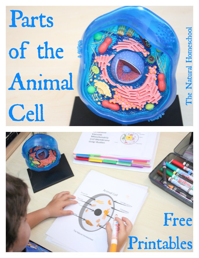 Free Parts of the Animal Cell Printable Pack