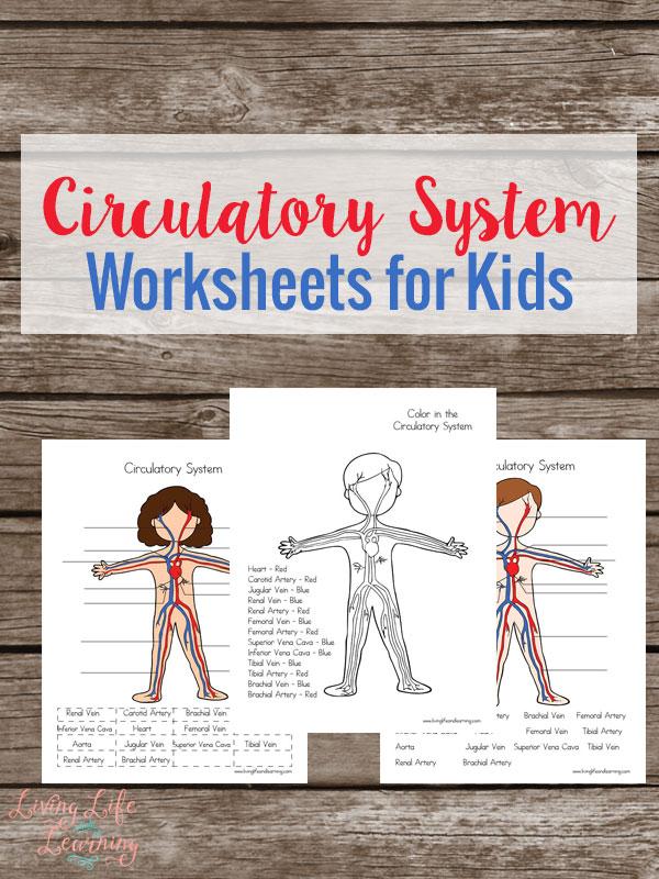 Free Printable Circulatory System Worksheets Money