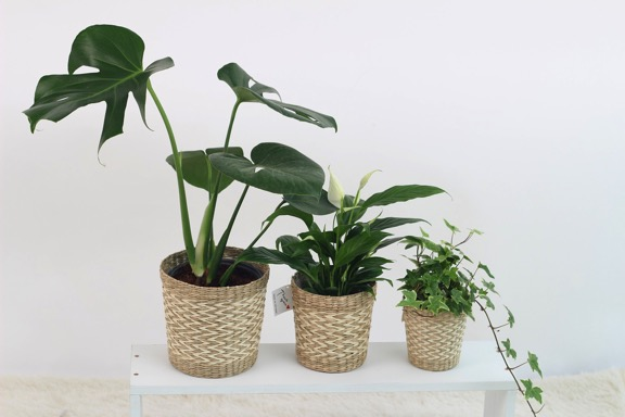 three plants in pots on shelf