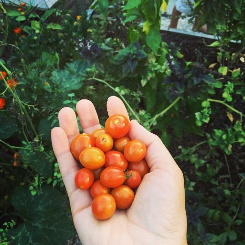 Grape Tomatoes in Hand