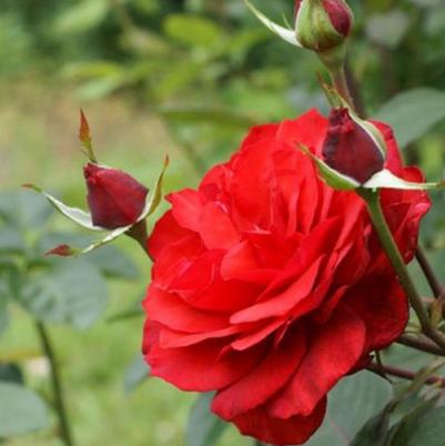 Mea Nursery Rose Bushes Just 10 49