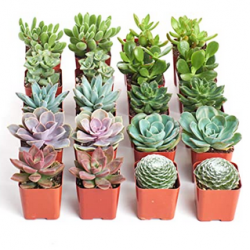 Indoor Succulent Plants, 20-Pack