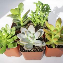 Live Succulent Plants (5 Pack)